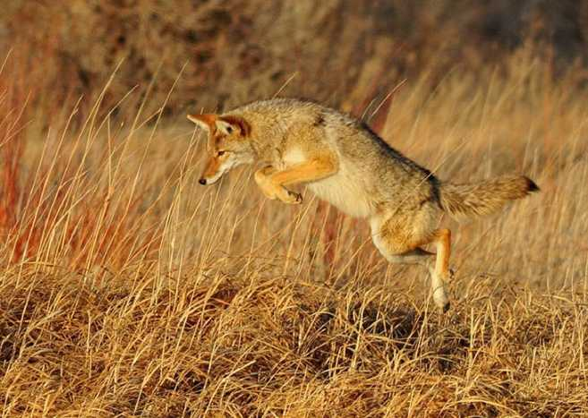 Get That Pelt! How to Skin a Coyote