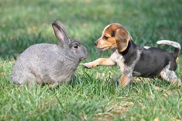 Beagle hunting - photo#51