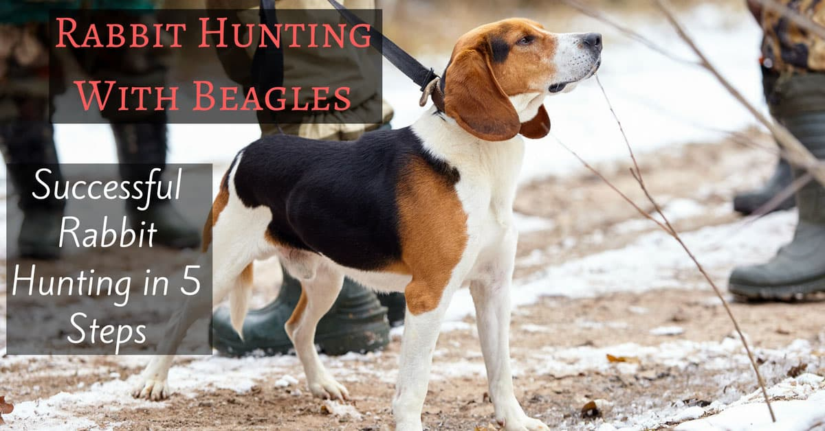 Rabbit Hunting With Beagles-