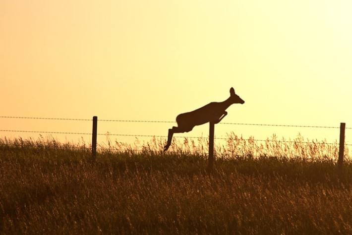 how high can a mule deer jump