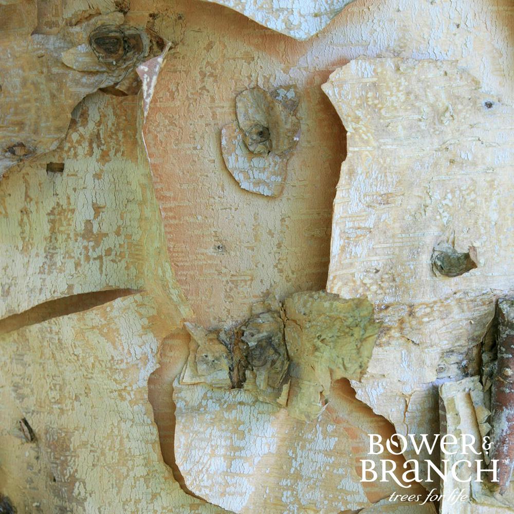 Shop Birches