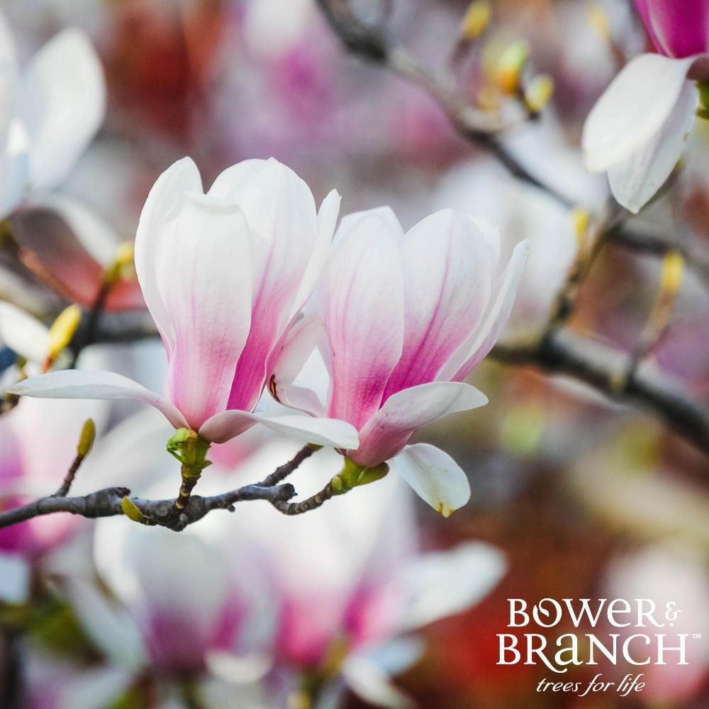 Shop Magnolias