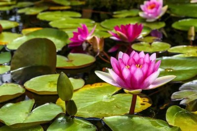 Print of a Purple Lily Pad Flower in San Juan Capistrano Photo