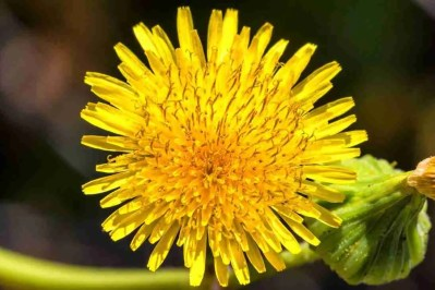 Print of a Yellow Dandelion Flower Photo
