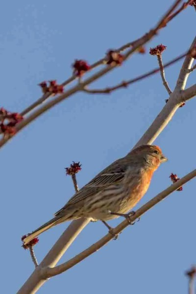 Photograph of a Male Finch Watching the Sunset