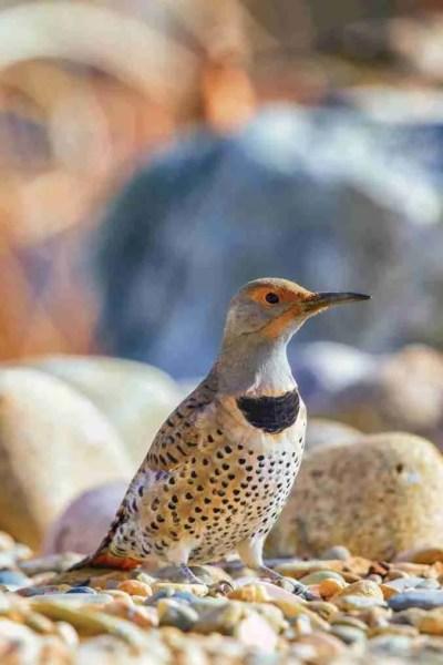 Print of a Northern Flicker Bird Posing Photo
