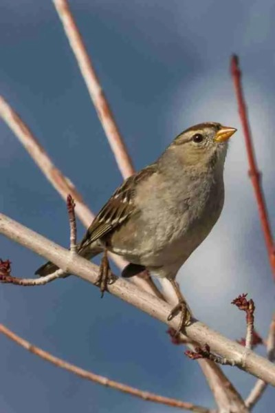 Photograph of a Female Sparrow Looking Up