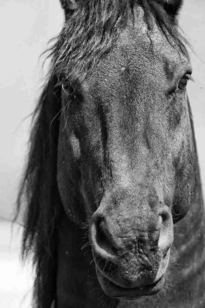 Print of a Black Friesian Gelding Horse Photo