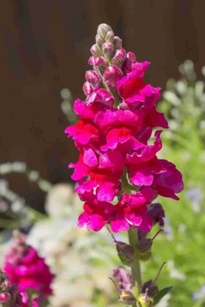Print of a Magenta Snapdragon Flower in Bloom