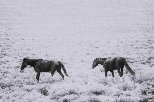 Print of Two Wild Nevada Mustangs on the Plains