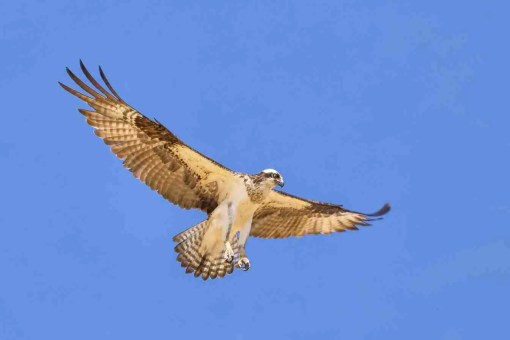 Print of an Osprey Hunting over Lake Tahoe