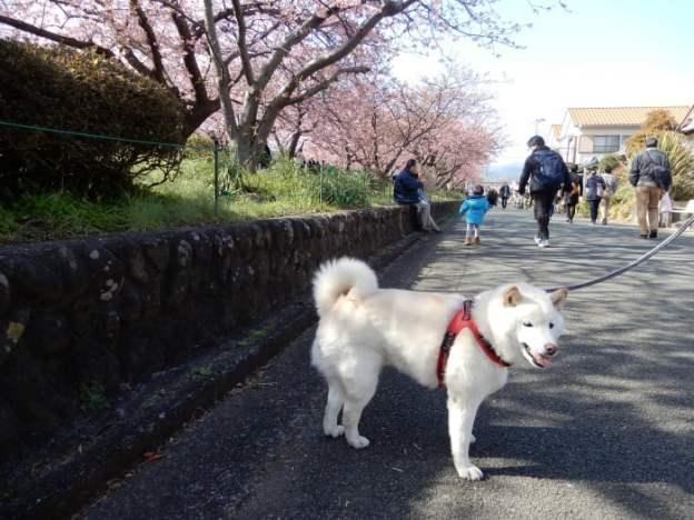kawazu-sakura12