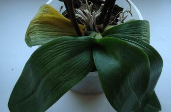 реанимировать орхидею