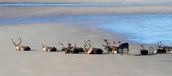 Renne Laponie Bronzette sur plage