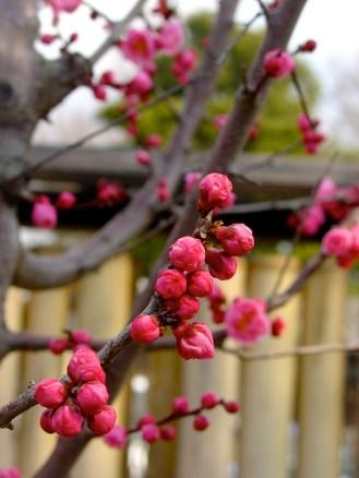 Cerisier du Japon - jardin de Shosei-En - Kyoto - région du Kansai - Japon