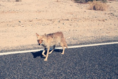 Coyote (Canis latrans) - Death Valley National Park - Californie