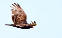 Urubu a tete rouge, Turkey Vulture, Cathartes aura, Point Reyes National Seashore, Californie