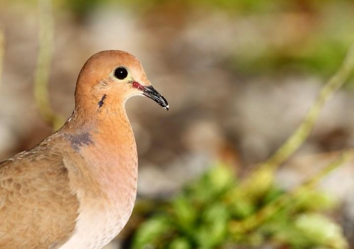 Tourterelle à queue carrée, Zenaida Dove, Zenaida aurita, Martinique, faune, oiseaux