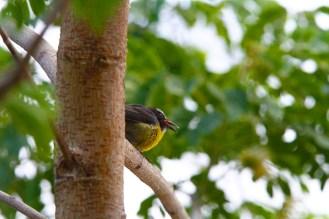 Sucrier à ventre jaune, Bananaquit, Coereba flaveola, Martinique