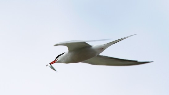 Sterne pierregarin, Common Tern, Sterna hirundo, Spiaggia Le Saline, Sardaigne, Sardinia, Sardegna