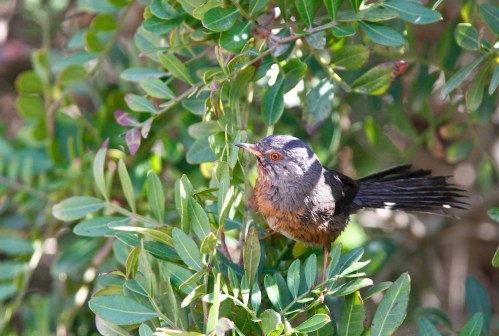 Fauvette pitchou, Dartford Warbler, Sylvia undata, Punta Giglio, Sardaigne, Sardinia, Sardegna