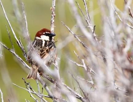 Moineau espagnol, Spanish sparrow, Passer hispaniolensis, Torre di Piscinni, Domus de Maria, Sardaigne, Sardinia, Sardegna