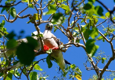 fou a pieds rouges, red-footed booby, sula sula, Ahe, Tuamotu, birds