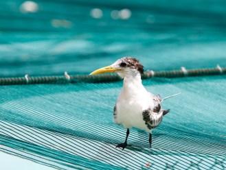 Sterne huppée, Greater Crested Tern, Thalasseus bergii, Bora-Bora, French Polynesia