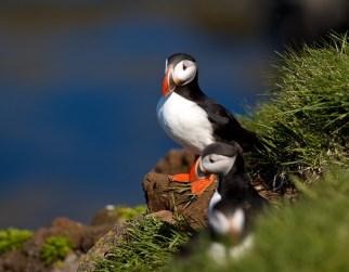 Oiseaux, Islande, nid, macareux