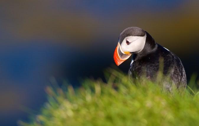 Macareux moine, Islande, oiseaux