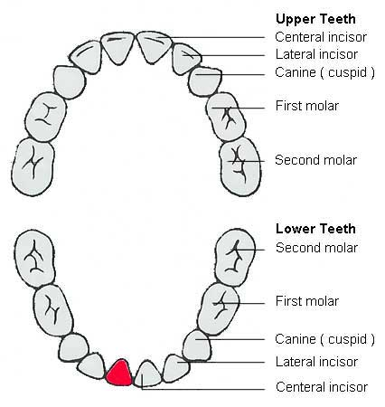 Diagram Of Primary Teeth, Diagram, Free Engine Image For