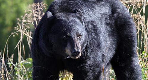 black bear what defenders