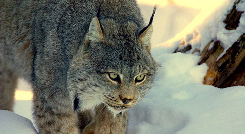 Wolf Wallpaper Hd Canada Lynx Basic Facts About Canada Lynx Defenders Of