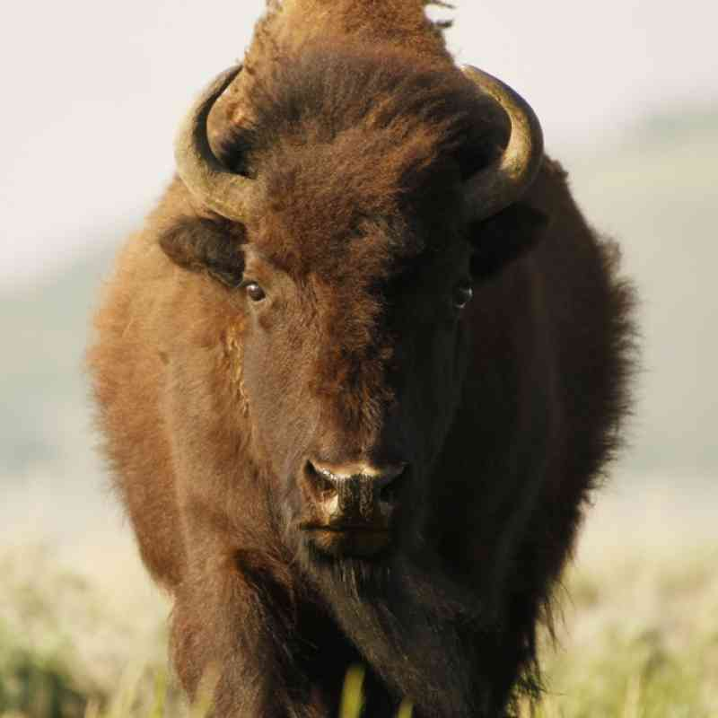 bison defenders of wildlife