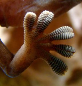 The gecko foot has  millions of flexible stalks adhere instantly and reversibly to surfaces, yet can reliably hold 15-30 pounds per square inch — meaning a gecko can hang by one foot while reaching for a far-off twig or nabbing some dinner.