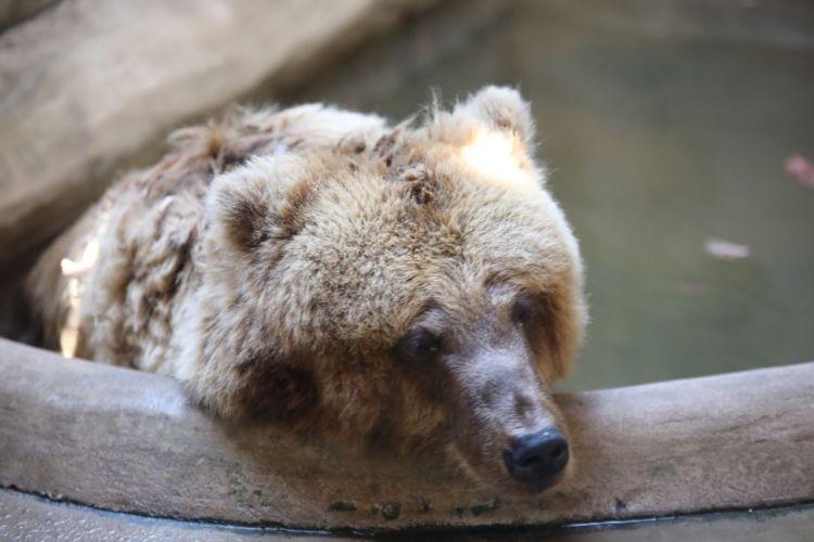 ursa marsha deitada em reservatório de água