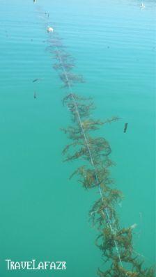 Rumput laut ditanam mengambang di lautan