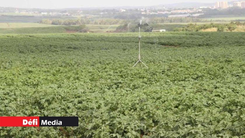 Les cultures de pomme de terre en proie à une maladie causée par l'humidité