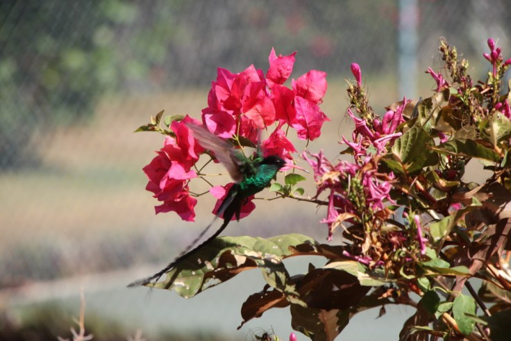 The Doctor Bird - Jamaica's national bird