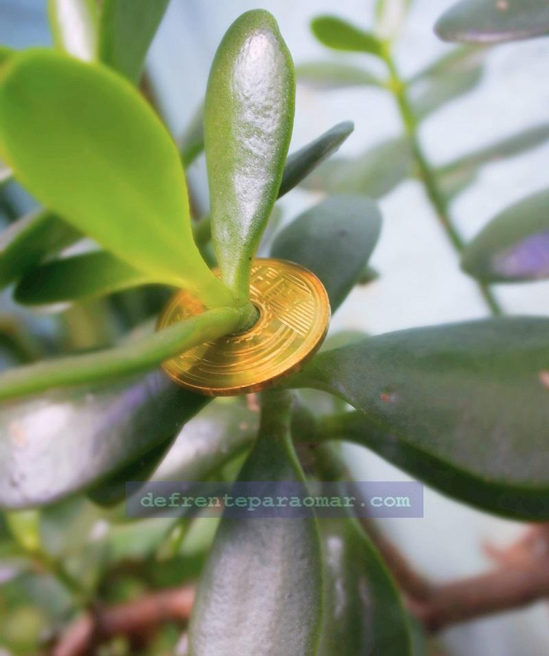 As boas vibrações da planta Jade, a árvore da fortuna