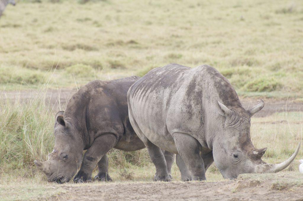 Neushoorns safari groeiblog
