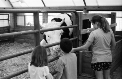 Feeding Cow.
