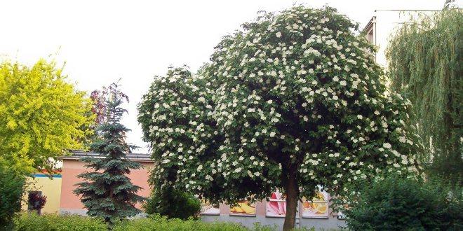 Holunderbaum Naturheilkunde