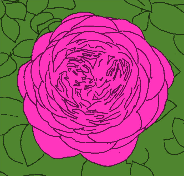 Rosenblüte 'Heidi Klum' skizziert, coloriert