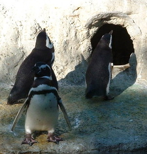 penguins_curious