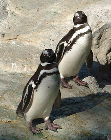penguins_gawking_2