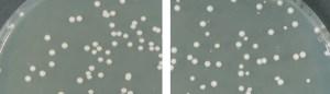 white yeast colonies