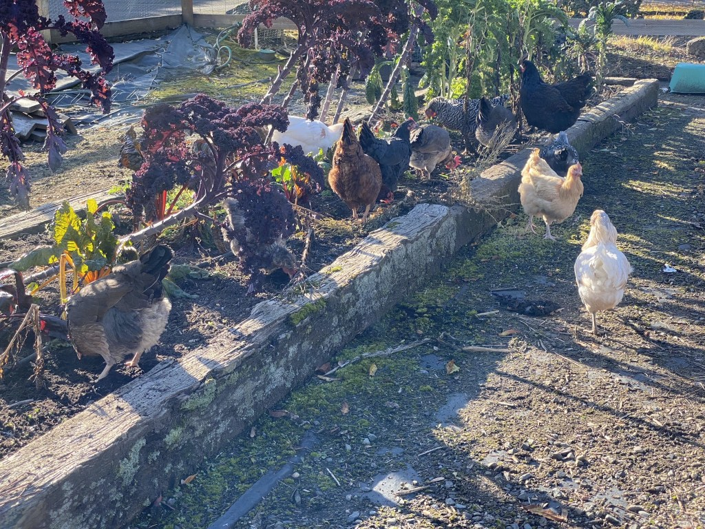 Chickens at the salad bar