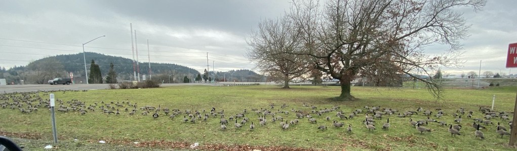 Lots of Canadian geese