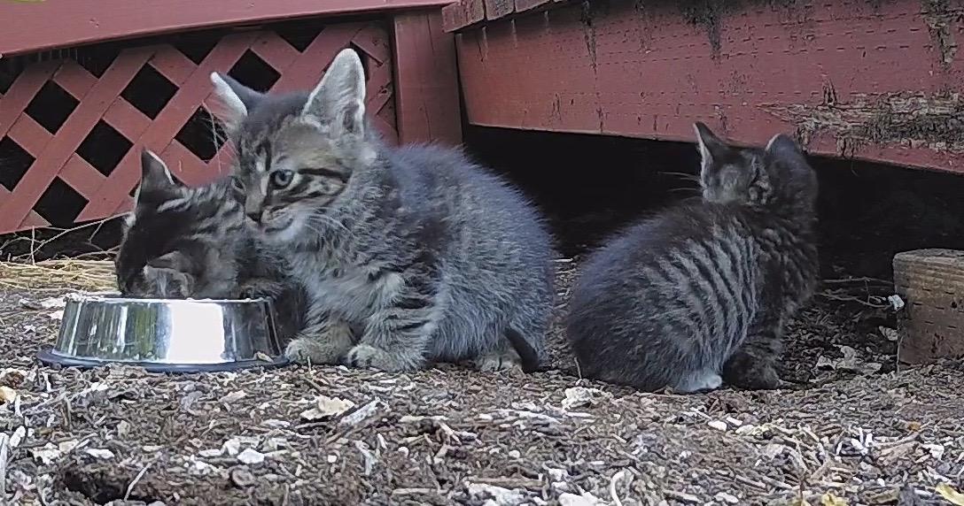 Feral kittens